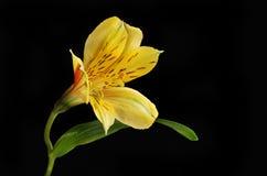 Única flor do Alstroemeria isolada contra o preto Imagens de Stock