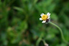 Única flor do botão de revestimento com cabelos foto de stock