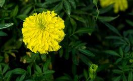 Única flor do cravo-de-defunto amarelo Imagens de Stock