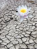 Única flor do deserto Imagem de Stock