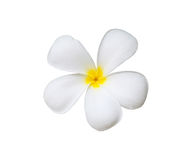 Única flor do frangipani Imagem de Stock Royalty Free