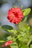 Única flor do hibiscus Imagem de Stock Royalty Free