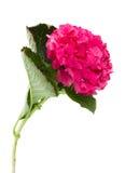Única flor do hortensia Imagem de Stock