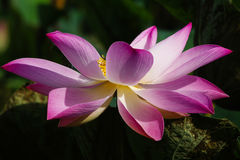 Única flor dos lótus Fotos de Stock Royalty Free