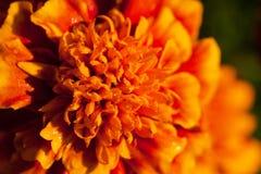 Única flor dos tagetes com as gotas de orvalho macro Imagem de Stock