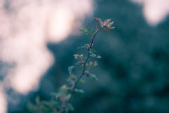 Única flor escura Foto de Stock Royalty Free