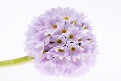 Única flor lilás da mola da prímula isolada no fundo branco Foto de Stock