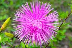 Única flor lilás do áster Foto de Stock