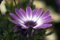 Única flor malva e branca da margarida africana Imagens de Stock Royalty Free