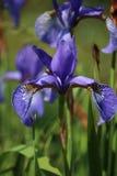 Única flor roxa azul da íris Fotografia de Stock Royalty Free