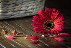 Única flor vermelha Fotos de Stock Royalty Free