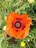 Única flor vermelha da papoila contra um fundo do crescimento verdejante imagem de stock