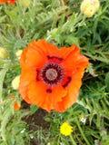 Única flor vermelha da papoila contra um fundo do crescimento verdejante fotografia de stock royalty free