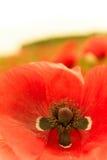 Única flor vermelha na vista superior macro Imagem de Stock Royalty Free