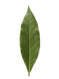 Única folha de louro isolada no fundo branco Imagem de Stock Royalty Free