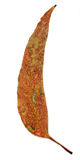 Única folha do eucalipto Fotos de Stock Royalty Free