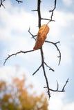 Única folha do outono no ramo inoperante Imagens de Stock Royalty Free