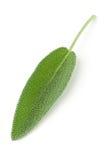 Única folha prudente orgânica colhida fresca sobre o branco Foto de Stock