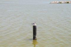 Única gaivota em uma coluna de madeira Fotografia de Stock