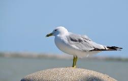Única gaivota empoleirando-se Foto de Stock