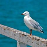 A única gaivota empoleirou-se em trilhos fotografia de stock