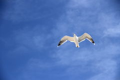 Única gaivota no céu azul como o fundo Foto de Stock Royalty Free