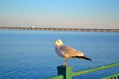 Única gaivota que mantém o relógio sobre o rio Imagens de Stock Royalty Free