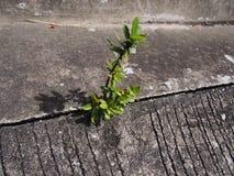 A única hera baseou a planta que cresce fora do concreto urbano Fotografia de Stock