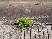 A única hera baseou a planta que cresce fora do concreto urbano Imagens de Stock Royalty Free