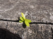 A única hera baseou a planta que cresce fora do concreto urbano Fotos de Stock Royalty Free