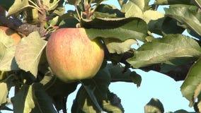Única maçã na árvore vídeos de arquivo