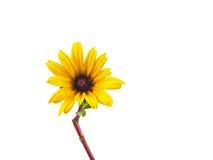 Única margarida amarela isolada Imagem de Stock Royalty Free