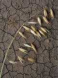 Única orelha da aveia no solo da seca Imagem de Stock