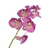 Única orquídea cor-de-rosa isolada no fundo branco Foto de Stock Royalty Free