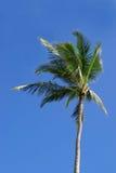 Única palmeira Fotografia de Stock Royalty Free