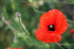 Única papoila vermelha na flor Imagens de Stock Royalty Free