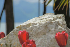 Única pedra incomum e tulipas vermelhas bonitas Imagem de Stock