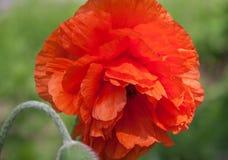 Única Poppy Flower Head vermelha bonita em um campo verde Fotografia de Stock
