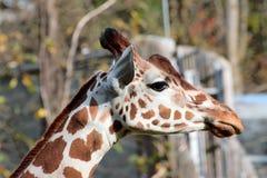 Única posição do girafa Imagem de Stock