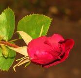 Única Rosa Foto de Stock