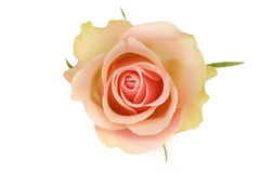 Única Rosa alaranjada no fundo branco Fotos de Stock Royalty Free