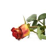Única rosa amarela do vermelho isolada Imagens de Stock Royalty Free