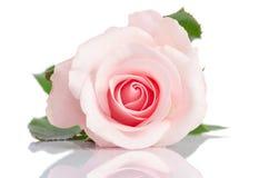Única rosa bonita do rosa em um fundo branco Fotos de Stock Royalty Free