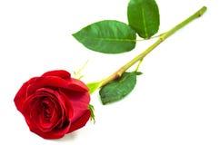 Única rosa bonita do vermelho Imagens de Stock Royalty Free