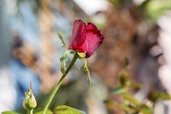 Única rosa bonita do vermelho em um fundo borrado Fotos de Stock
