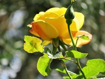 Única rosa do amarelo e um botão com folhas verdes foto de stock