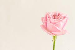 Única rosa do rosa com gotas da água Imagem de Stock Royalty Free