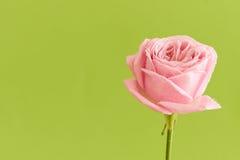 Única rosa do rosa com gotas da água Imagem de Stock