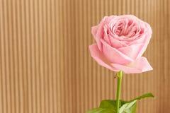 Única rosa do rosa com gotas da água Foto de Stock Royalty Free