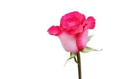 Única rosa do rosa isolada no branco Foto de Stock